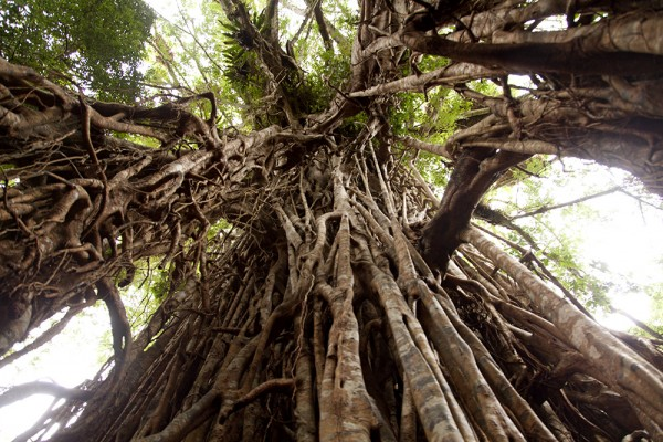 Atherton Tablelands: Cathedral Fig Tree