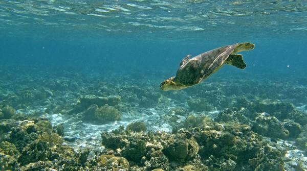 Great Barrier Reef vor Lady Elliot Island: Tauchende Suppenschildkröte (Grüne Meeresschildkröte)