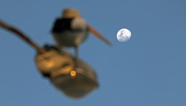 Tin Can Bay: Abendlicher Pelikan-Blick auf den aufgehenden Mond