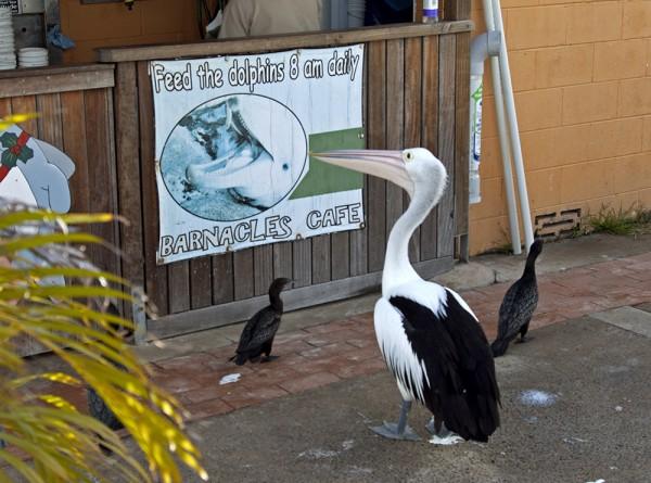 Kein Frühstücksfisch für den Pelikan (1)