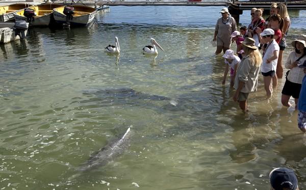 Mensch und Pelikan beobachtet das Frühstück der Delfine