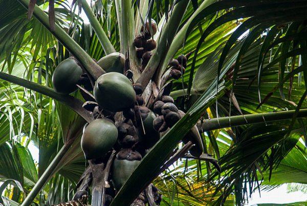 Einzigartige Natur - Seychellenpalme (Coco de Mer), Vallée de Mai, Praslin